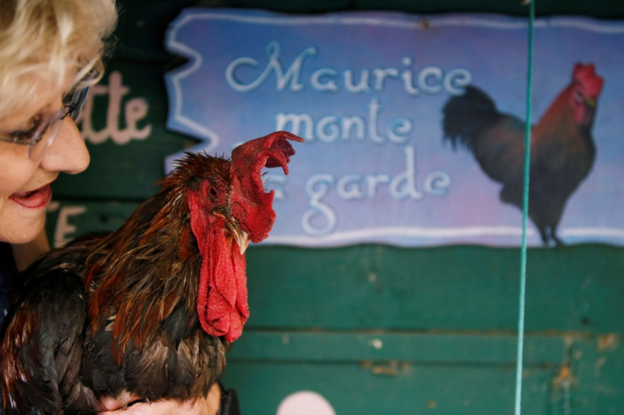 maurice-the-rooster